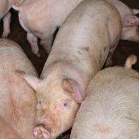 「G・ファーム」の豚