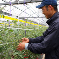 トマトの管理をする市川靖雄さん