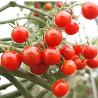 大切に育てられたミニトマト