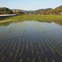 こだわり農場 鈴木~5月頃の稲~