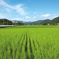 こだわり農場 鈴木~7月頃の稲~
