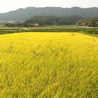 こだわり農場 鈴木~9月頃の稲~