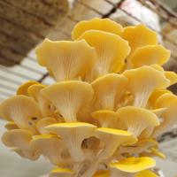 ナガタ農園「黄金たもぎ茸」